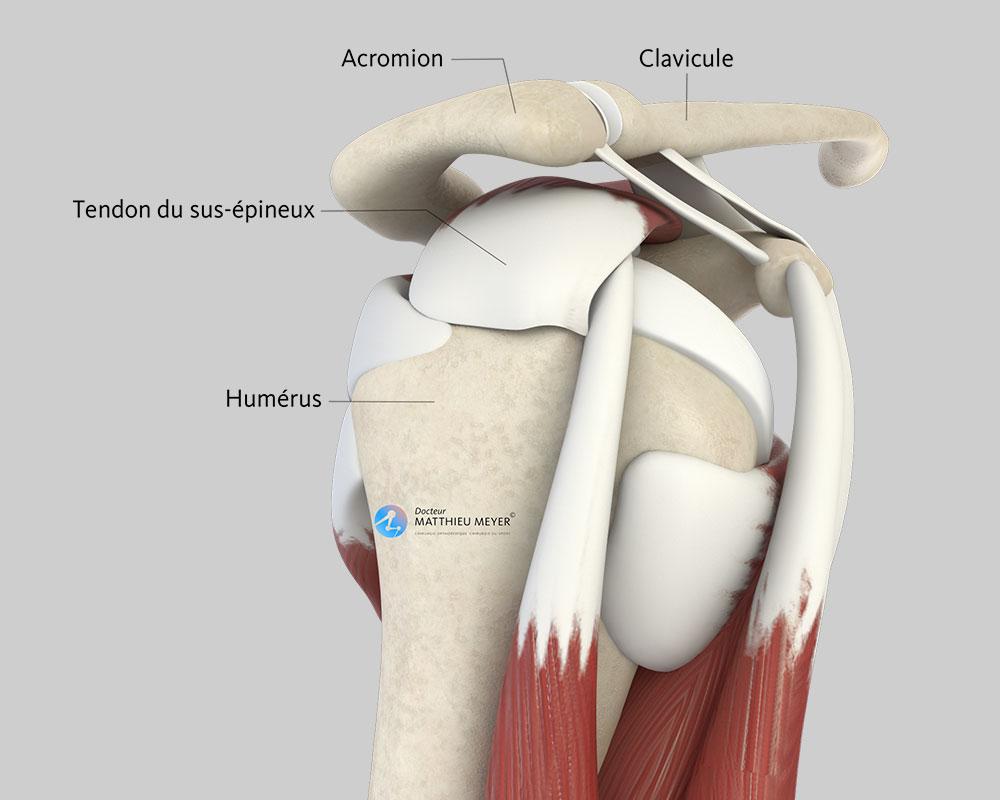 Épaule normale (vue de profil)
