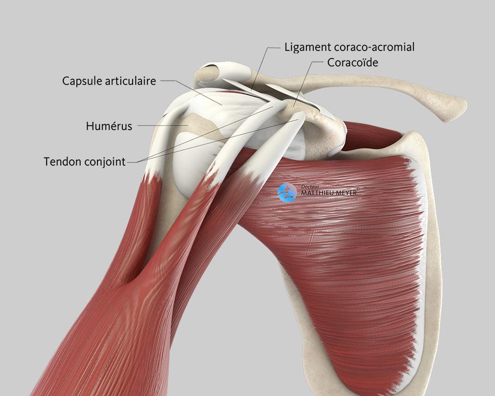 Épaule normale (vue antérieure)