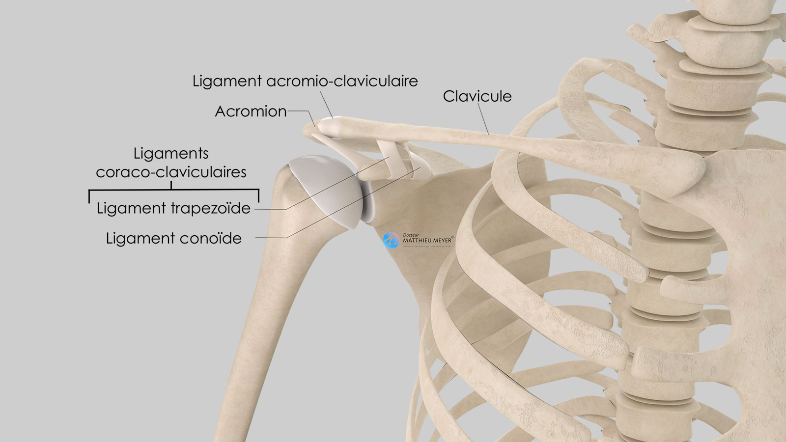 Anatomie de l'articulation acromio-claviculaire